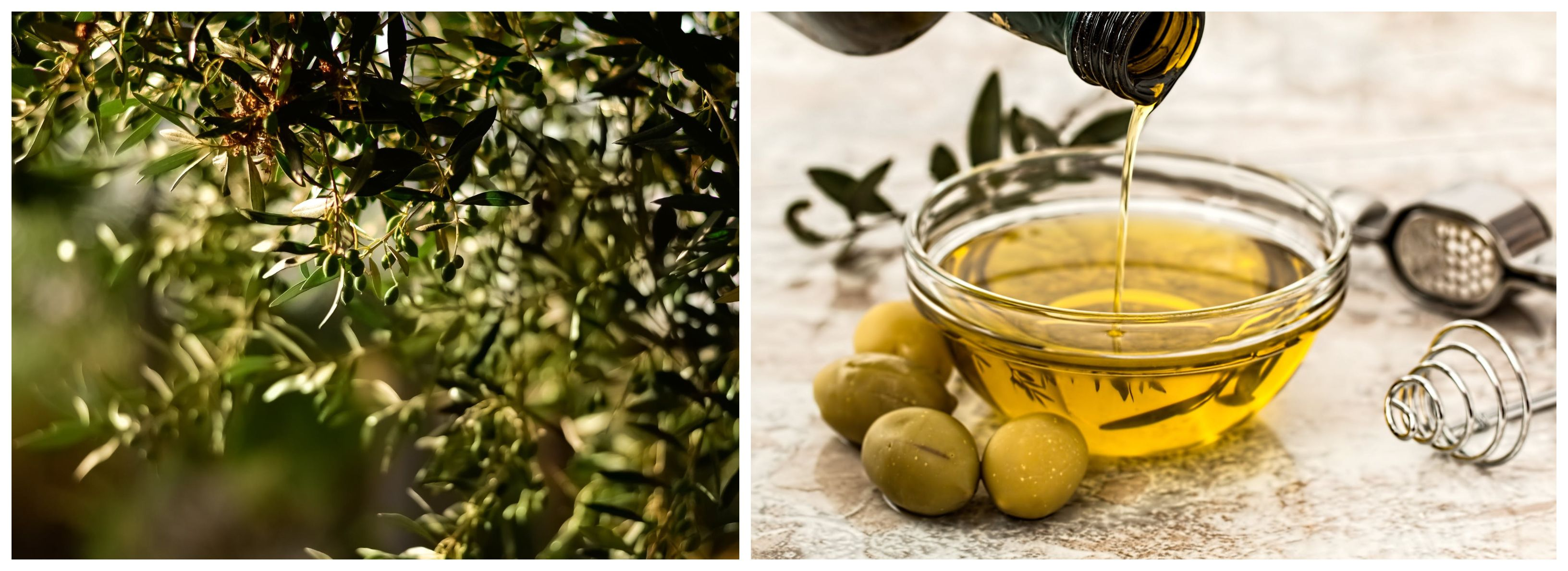 Croatian olive oil